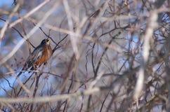 Vogel in den Zweigen Stockfoto