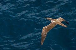 Vogel, der über dem Ozean ansteigt Stockbilder