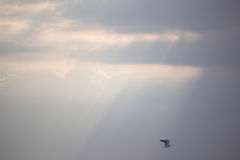 Vogel, der über Sun-Strahlen fliegt Lizenzfreie Stockbilder