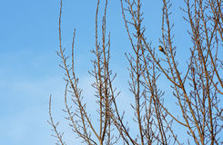 Vogel, der auf Baumasten mit blauem Himmel steht Stockbild