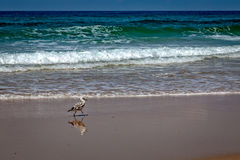 Vogel, der auf den Strand geht Stockfotos