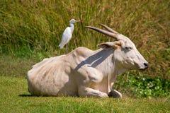 Vogel, der auf der Kuh sitzt Lizenzfreies Stockfoto