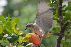 Vogel, der auf eine gefallene Papaya tritt lizenzfreie stockfotografie
