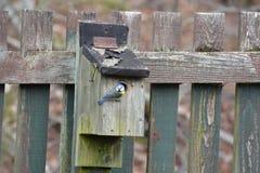 Vogel der Blaumeise (Cyanistes-caeruleus), der auf den Nistkasten betrachtet den Zuschauer hält Stockfoto