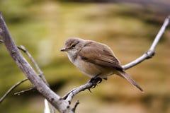 Vogel, der in einem Zweig stillsteht Lizenzfreie Stockfotografie