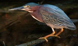 Vogel, der einen Fisch jagt Lizenzfreie Stockbilder