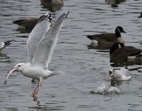 Vogel, der Fische weg von einem anderen Vogel stiehlt Stockbilder