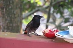 Vogel, der Granatapfel genießt lizenzfreie stockfotos