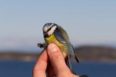 Vogel in der Hand einer Frau für Vogelstreifenbildung Lizenzfreie Stockfotografie