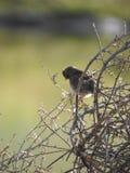 Vogel, der heraus an einem Amarant hängt Lizenzfreie Stockbilder