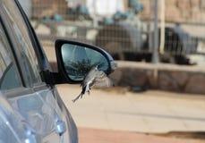 Vogel, der im Autospiegel schaut Lizenzfreie Stockfotos