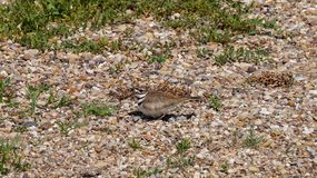 Vogel, der im Wald ihre Eier schützt lizenzfreies stockfoto