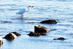 Vogel, der im Wasser mit einem Fisch steht stockfotografie