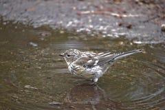 Vogel in der Pfütze Stockfotos
