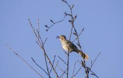 Vogel der Roten Spottdrossel, der in einem Baum, Georgia USA singt Stockbild