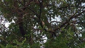 Vogel der Roten Spottdrossel, der in einem Baum der getrockneten Sassafraswurzel singt stock video