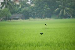 Vogel, der schwarzen Drongo mit verbreiteten Flügeln in einer Luft über Grün fliegt Lizenzfreies Stockbild