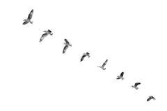 Vogel, der sich entfernt, um Himmel u. x28 zu klären; b&w& x29; lizenzfreie stockfotografie
