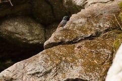 Vogel des blauen Graus, der auf einem Stein sitzt Stockbilder