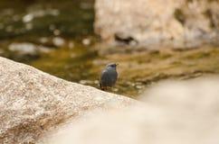 Vogel des blauen Graus, der auf einem Stein sitzt Lizenzfreies Stockfoto