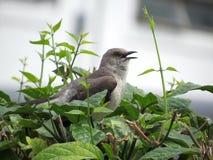 Vogel des Gesangs Thrasher auf einer Hecke lizenzfreie stockfotos