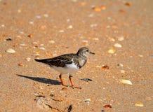 Vogel des rötlichen Turnstone auf Strand lizenzfreie stockfotografie