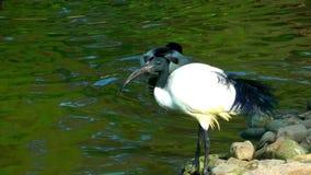 Vogel dichtbij het meer stock video