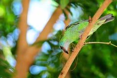 Vogel die aan Zijn Nest werkt Stock Afbeeldingen
