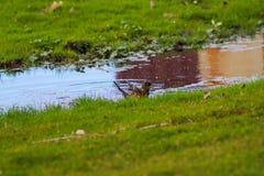 Vogel die een bad in het water in het park nemen royalty-vrije stock fotografie