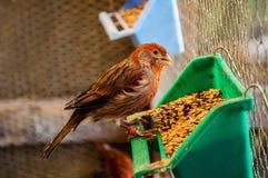 Vogel die graan eten stock foto
