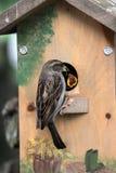 Vogel die hongerig babykuiken voedt Stock Afbeelding