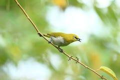 Vogel die klein fruit eten royalty-vrije stock afbeeldingen