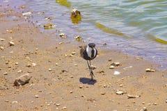Vogel die naast het meer lopen stock fotografie