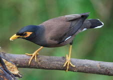 Vogel die op boomtak wordt neergestreken. 30.36 jpg Stock Afbeelding