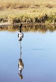 Vogel die op een meer lopen Stock Foto