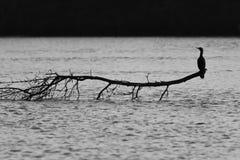 Vogel die op een tak rust Stock Afbeelding