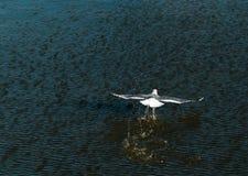Vogel die op het water glijden Royalty-vrije Stock Fotografie
