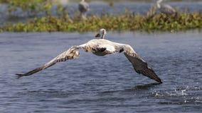Vogel die op water voorbereidingen treffen te landen royalty-vrije stock foto