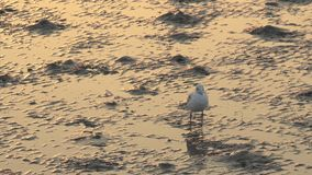Vogel die zich op mudflats bevinden stock video
