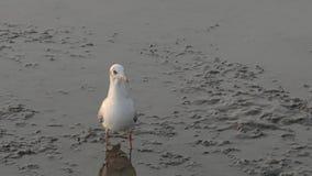 Vogel die zich op mudflats bevinden stock videobeelden