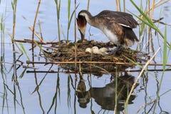 Vogel die zijn eieren uitbroeden stock afbeeldingen
