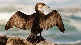 Vogel die zijn vleugels op een rots zonnen door het overzees Stock Foto's