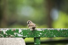 vogel Dier Passeriformes Lawaaierig en in kudden levend, deze vrolijke zijn exploiters van man vuilnis en verspilling, zelfs erin stock afbeeldingen