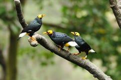 Vogel --- drie geel-onder ogen gezien Mynah Stock Foto's