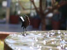 Vogel drinkwater Royalty-vrije Stock Afbeeldingen