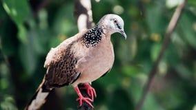 Vogel (Duif, Duif of het Ondubbelzinnig maken) in een aard stock fotografie