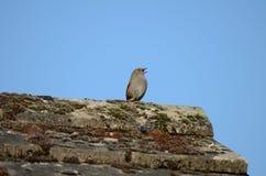Vogel, Dunnock, die van dak, wijd open bek zingen stock afbeelding