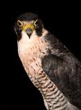 Vogel eaglet Lizenzfreie Stockfotos