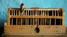 Vogel in een Houten Kooi stock video