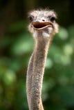 Vogel: Een struisvogel (Struthio Camelus) Royalty-vrije Stock Fotografie